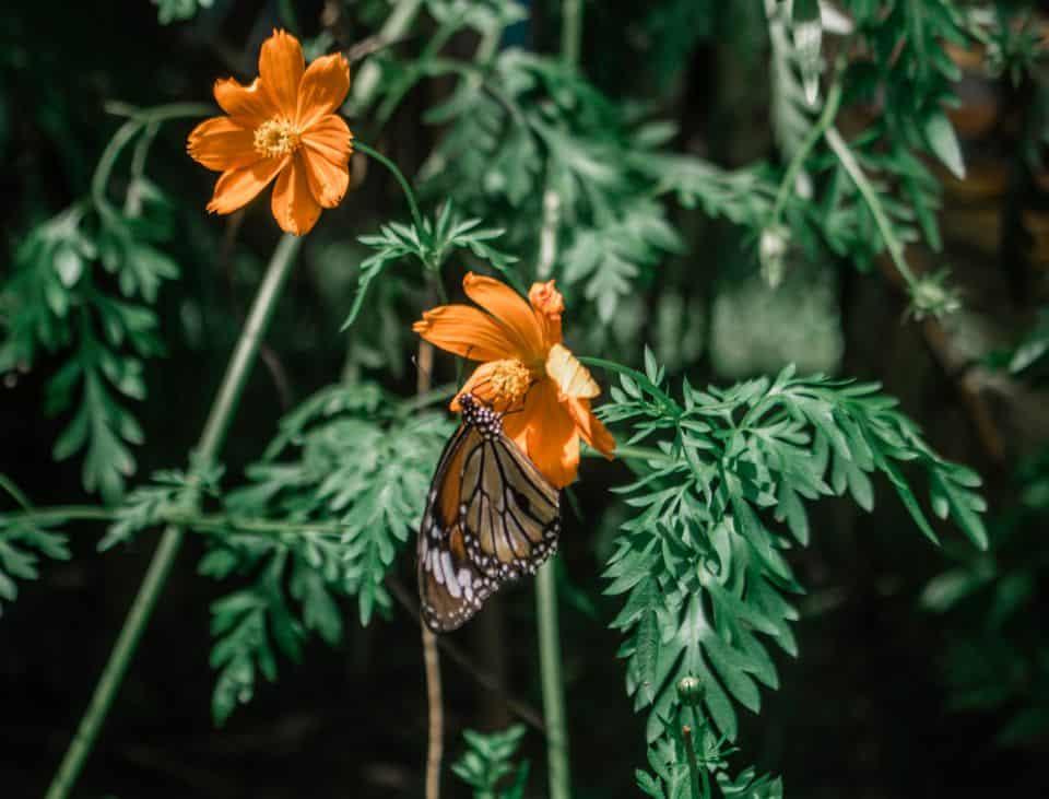 Espèce de papillon du parc national de Kep.